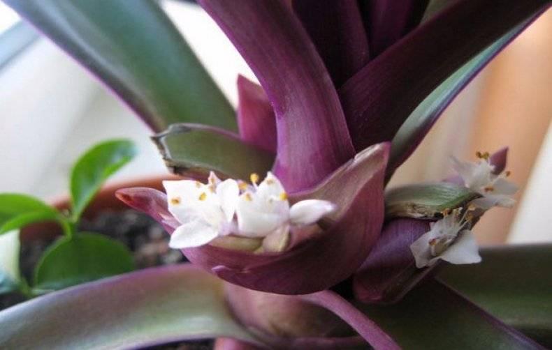 50 фото и описание цветка рео, ? посадка, условия и уход, польза и вред