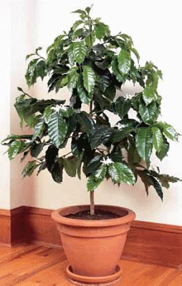 Кофейное дерево в домашних условиях: правила посадки и ухода