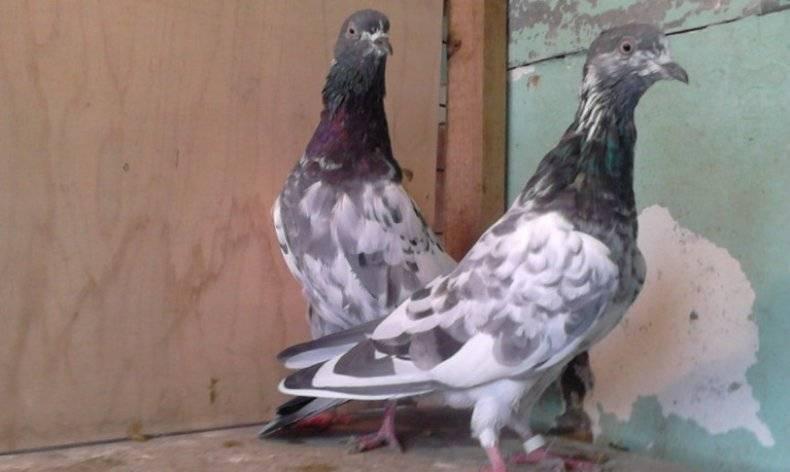 Голуби: описание, места обитания и размножение. многообразие окраса и повадки голубей. удивительные виды голубей, окоторых вы, возможно, даже незнали (35фото)