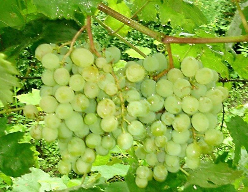 Виноград «Восторг» — сорт, вызывающий бурю положительных эмоций