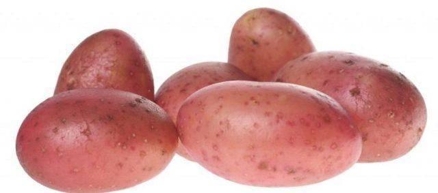 """Картофель""""аврора"""": описание сорта, характеристики и фото русский фермер"""