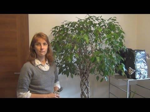 Пересадка фикуса в домашних условиях: когда и как правильно?фото selo.guru — интернет портал о сельском хозяйстве