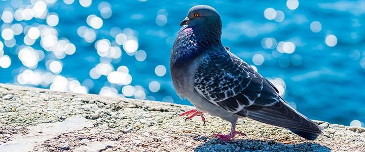 Орнитоз у голубей: описание, симптомы и лечение