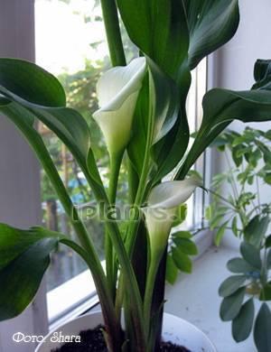 ᐉ почему не цветут каллы в саду - ogorod-u-doma.ru