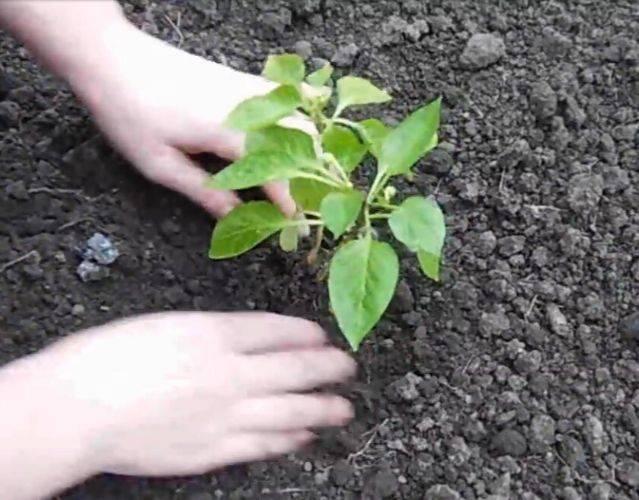 Как сажать перец семенами и рассадой в открытый грунт и теплицу, правила ухода
