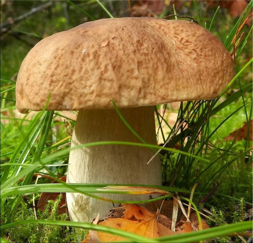 Белый гриб: описание, применение, рецепты, фото