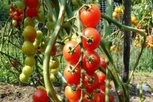 Томат метелица: описание сорта, отзывы, фото, урожайность | tomatland.ru