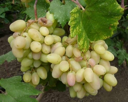 Описание и особенности сорта винограда преображение