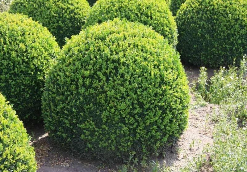 Вечнозеленый самшит: особенности посадки и ухода, размножение, растения-партнеры