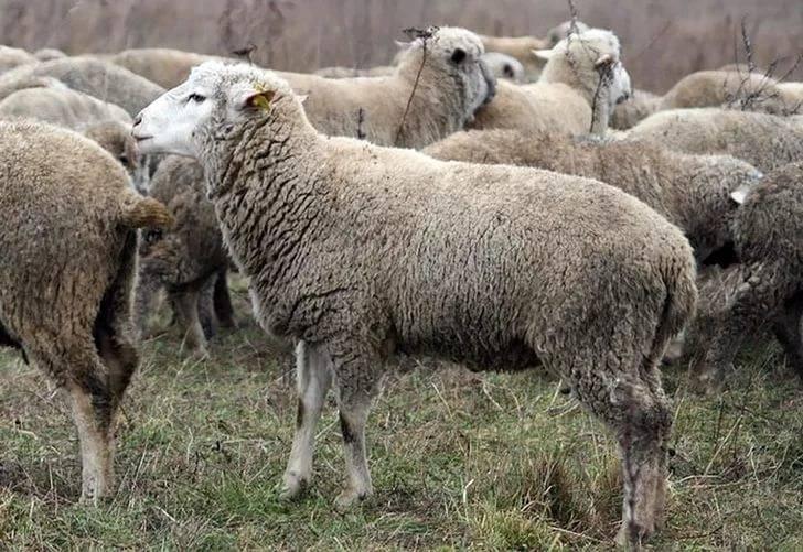 Цигайская порода овец: описание, характеристика, особенности содержания и отзывы  — vkmp