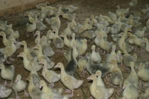 Сколько можно заработать на разведении гусей?