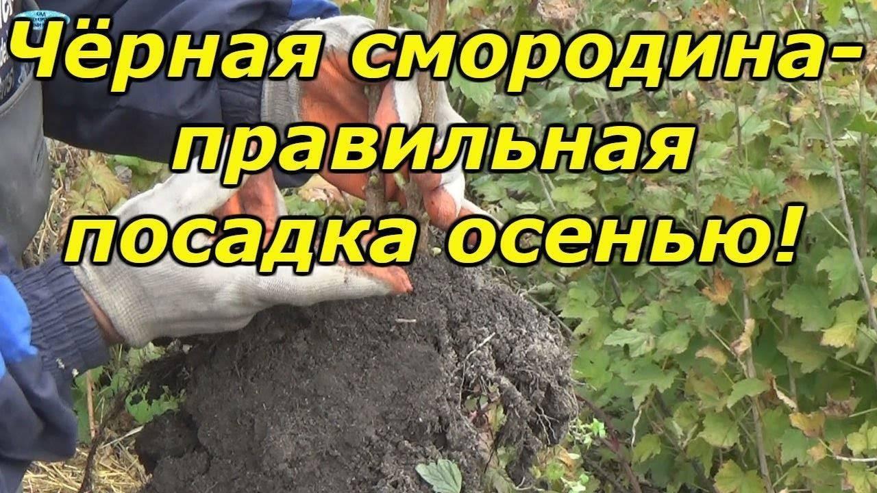 Посадка смородины осенью: когда и как посадить – рекомендации, фото, видео