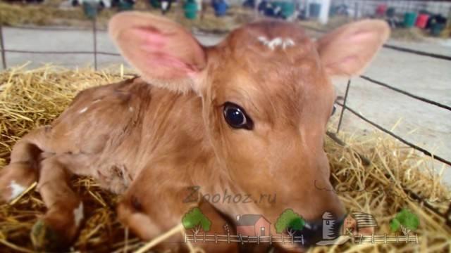 Глисты у коров и телят: лечение