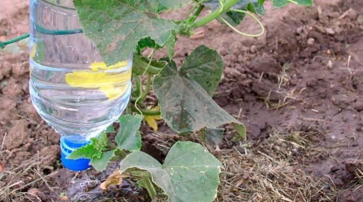 Как поливать огурцы? рекомендуемая частота полива на разных этапах развития плода