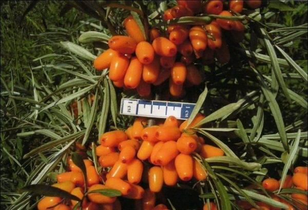 Сорта облепихи без колючек: с крупными ягодами, для подмосковья, наиболее урожайные, кустовые, без поросли