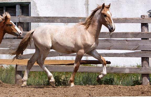 Описание чалой масти лошадей