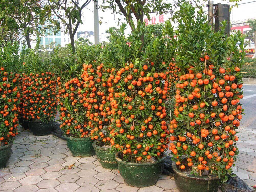 Как вырастить мандарин - посадка косточек, уход