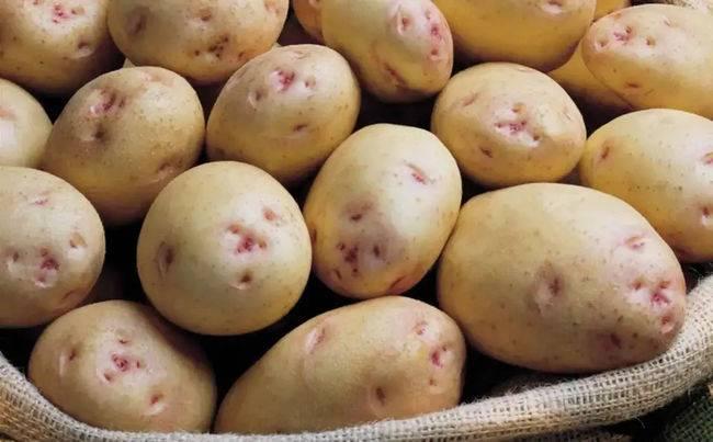 Картофель аврора: описание сорта, фото, отзывы