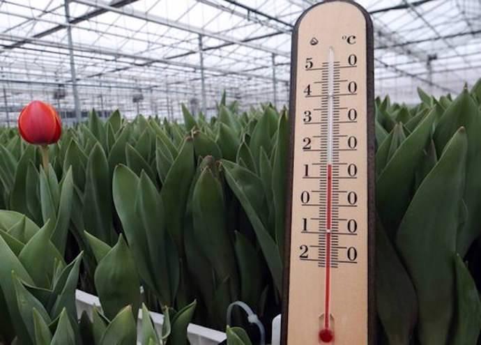 Температура в теплице для помидор: оптимальный показатель