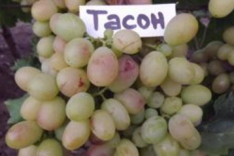 Настоящее сокровище — белый виноград сорта «ланселот»