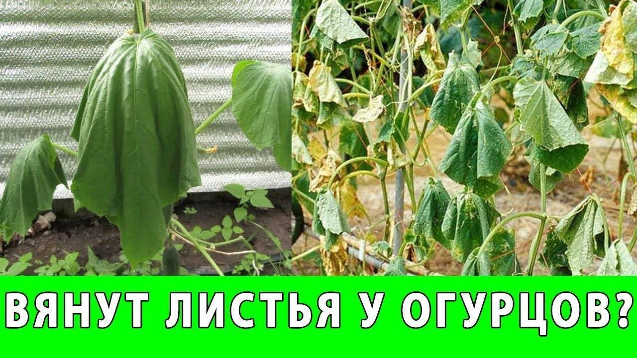 Нужно ли обрывать листья и усы у огурцов