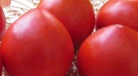 Томат толстой – характеристика и описание сорта, особенности выращивания