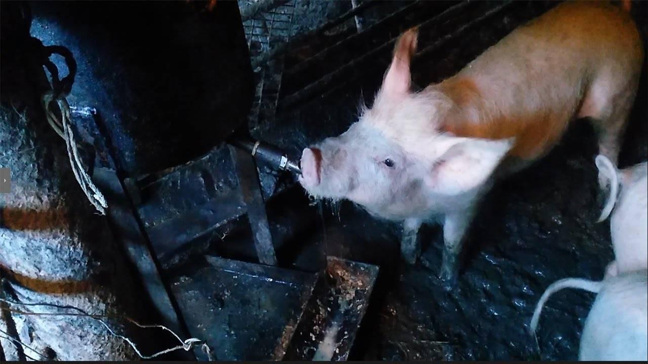 Разновидности поилок для свиней