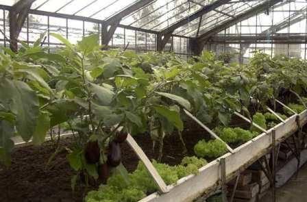 Пасынкование тепличных баклажанов: необходимо ли, как подготовить растение, технология удаления пасынков, правила формирования куста