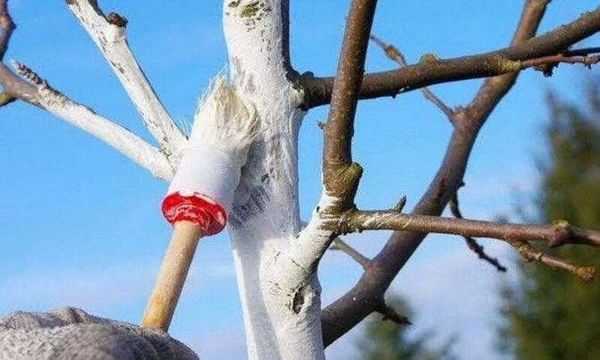 ᐉ побелка деревьев осенью: когда, зачем и чем белить плодовые - roza-zanoza.ru