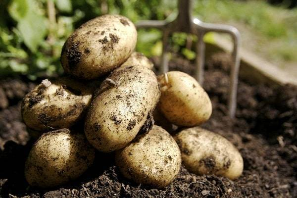 Болезни картофеля: причины, симптомы, способы лечения
