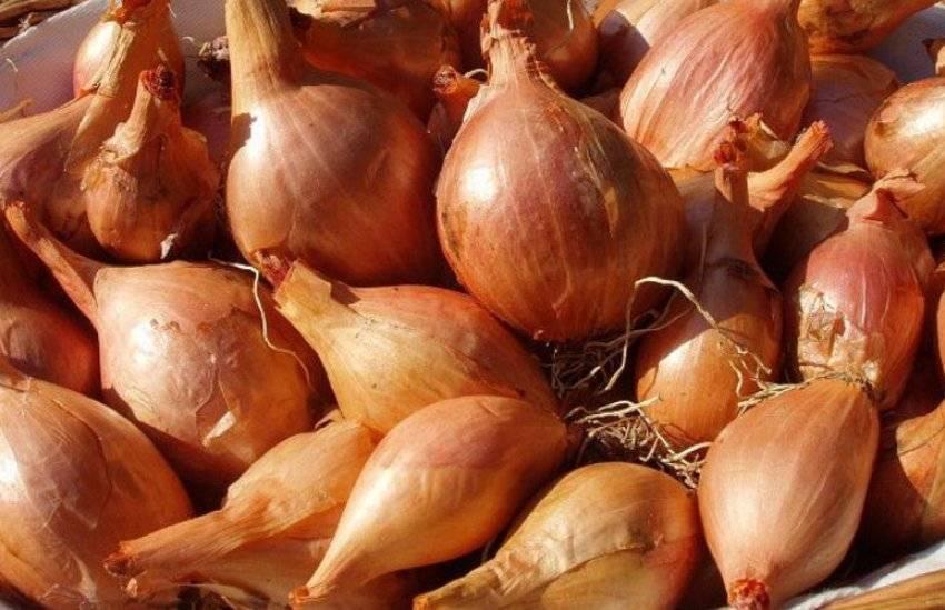 Описание и особенности выращивания семейного лука