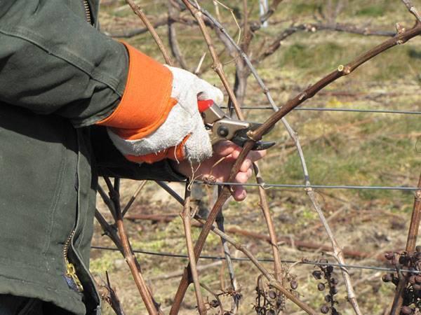 Подготовка винограда к зиме в сибири