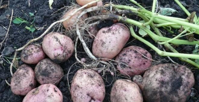 Сорт картофеля романо: характеристика, описание с фото, отзывы