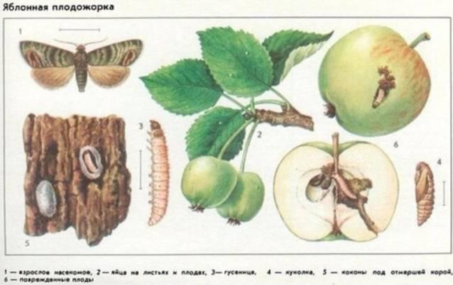 Яблоня «башкирская красавица»: описание сорта