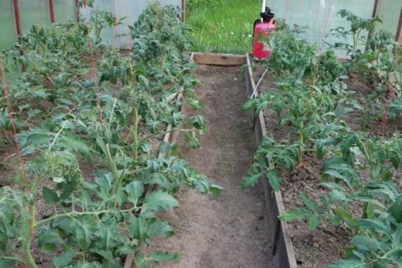 Скручиваются листья у помидоров: причины, признаки