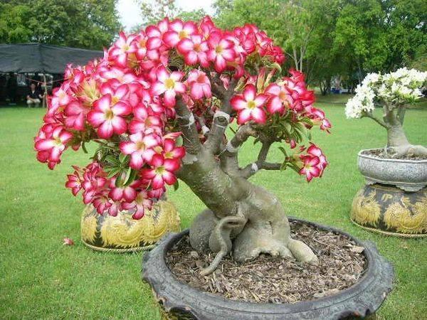 Выращивание адениума обесума: как посадить, ухаживать, удобрять, размножать