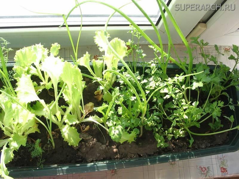 Зелень на подоконнике: выращивание без земли и без досвечивания