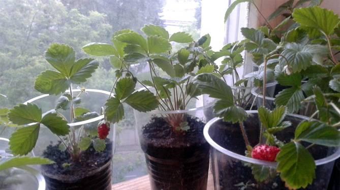Выращивание клубники из семян в домашних условиях круглогодично: как посадить на балконе, подоконнике или гидропонике с возможным применением на рассаду