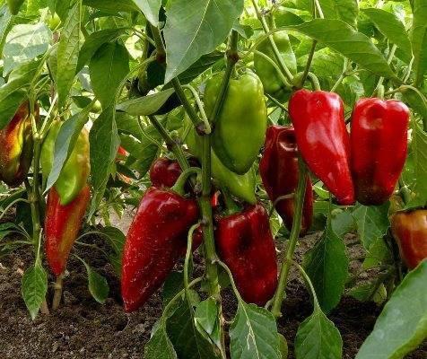 Перец богатырь: описание сорта, фото, отзывы садоводов