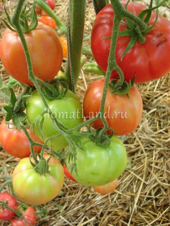 Томат розовый спам f1 - описание сорта гибрида, характеристика, урожайность, отзывы, фото