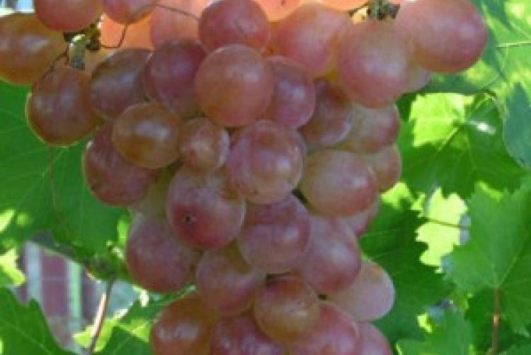 Описание сорта и особенности выращивания винограда «рута»