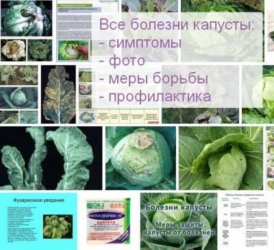 Почему вянут листья у капусты?