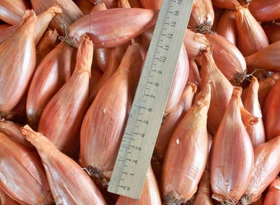 Лук-шалот: посадка и уход в открытом грунте, выращивание на зелень и репку, и когда сажать и можно ли под зиму, как размножить – семенами или севком?