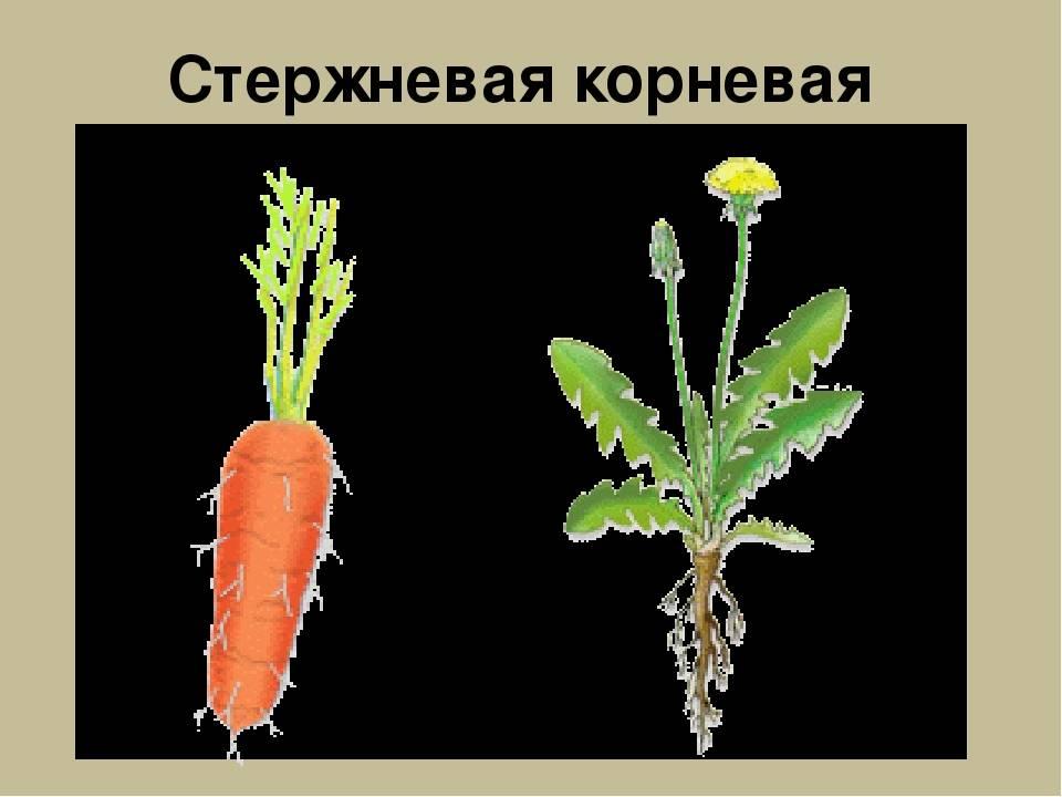 Характеристика корневой системы моркови - домашний уют от agrostroy2.ru