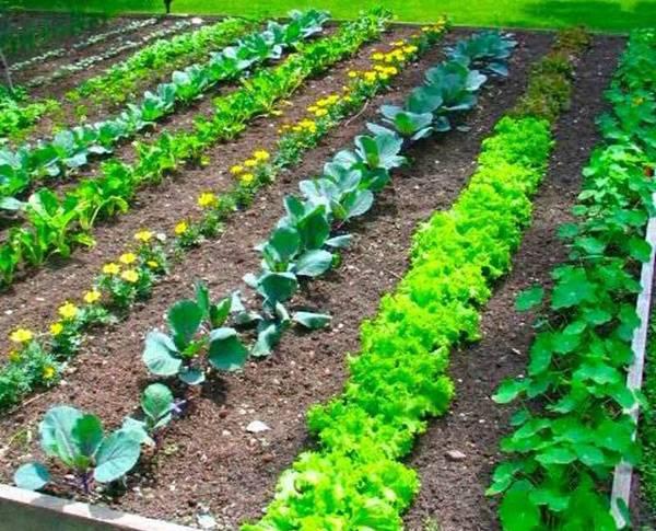Граунд — эффективная защита растений от сорняков сплошного действия