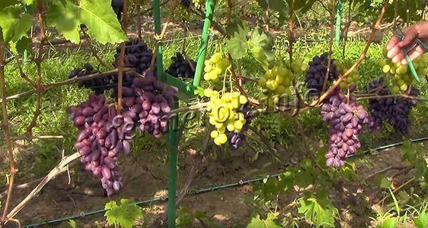 Особенности сорта винограда «байконур»