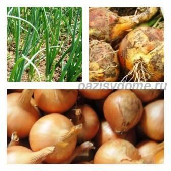 Лучшее удобрение для лука и чеснока осенью и весной: обзор, применение