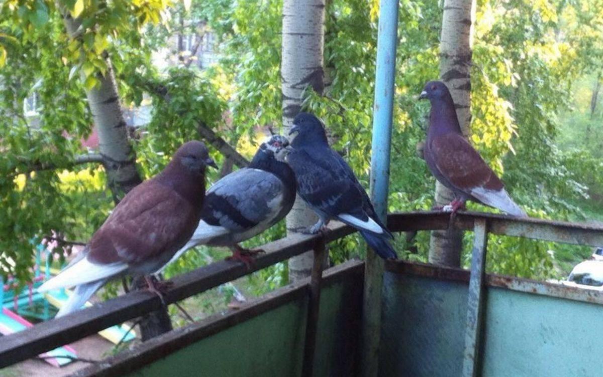 Как избавиться от голубей на балконе - советы как прогнать и навсегда отвадить