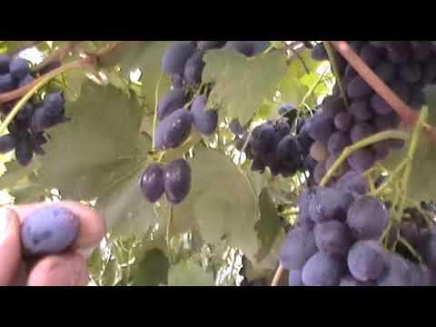 Виноград блек гранд, описание сорта