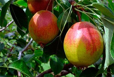 Лучшие сорта груш для каждой климатической зоны рф | садоводство и огородничество